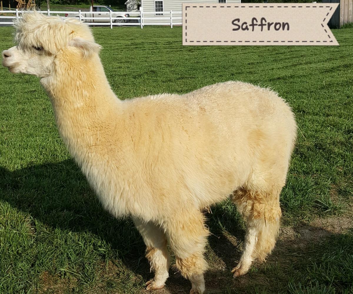 alpaca saffron