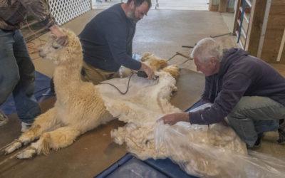 Fiber Shearing 2017