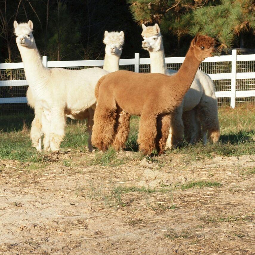 four alpacas