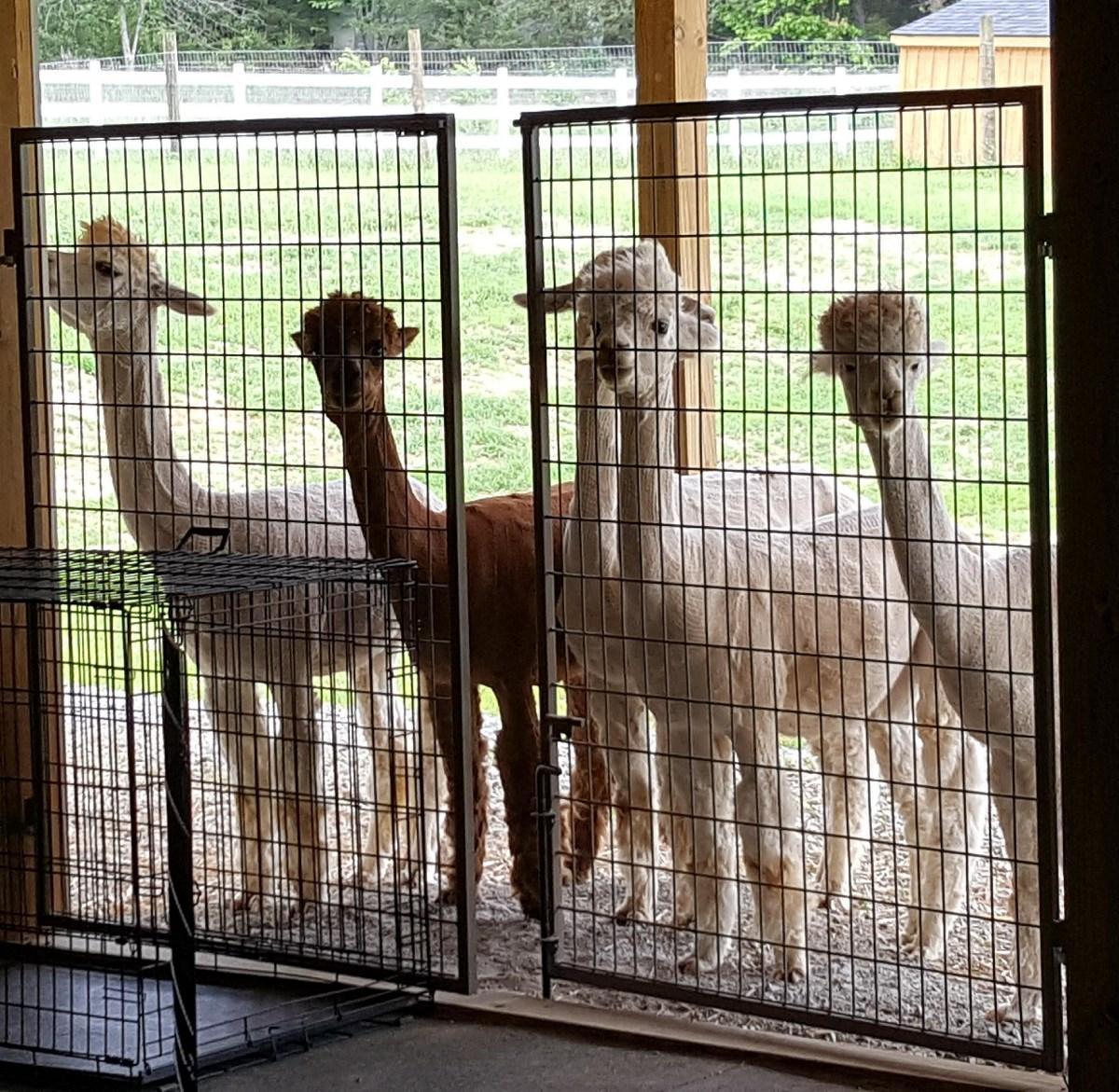 alpacas at gate