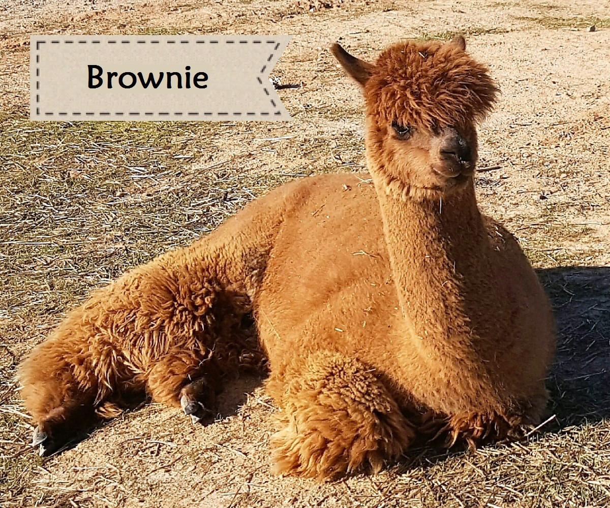 Alpaca Brownie